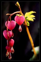 Bleeding heart by Karl-B