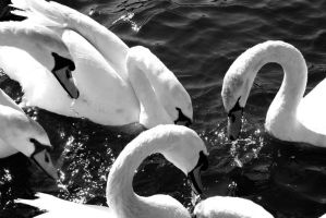 Too Many Swans For One Picture by saxondale