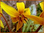 TROUT LILY FOR JOCELYNE by Sugaree-33