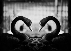 The Black Swans by bittersweetvenom