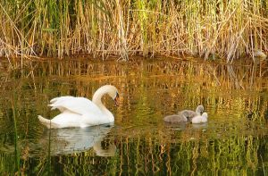 Swan Family by MirachRavaia