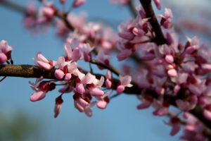Redbud 2 by edgyqueen