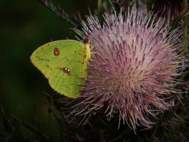 Yellow Butterfly on Thistle by Sharondipity