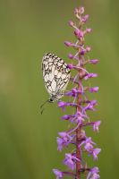 Orchid with butterfly by mescamesh