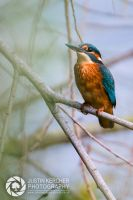 Kingfisher Behind Reeds by Neutron2K