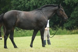 Eventing Horse Show Stock 18 by almondjoyy5
