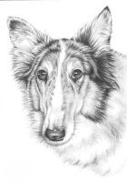 Collie Cora by ArtsandDogs