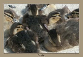 photo Ducklings by syrus