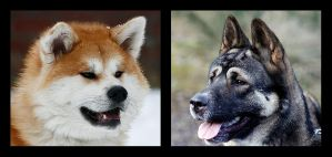 Japanese and American Akita by thisisyesterday