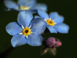 Forget-Me-Nots 3 by zaphotonista