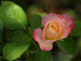 Pink and Yellow Rose 01 by botanystock