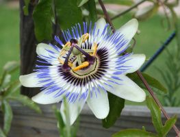 the magic of a passion flower by ingeline-art