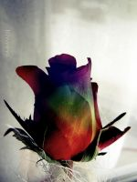 rainbow rose by yuya-yo