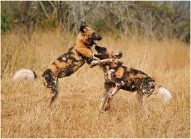 Wild Dogs Playing II by TamarViewStudio