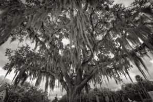 Spanish Moss by micahgoulart