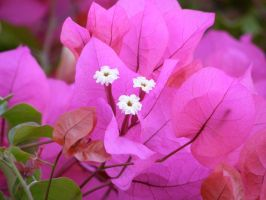 pink Flower 3 by archaeopteryx-stocks
