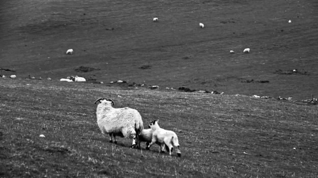 Sheeps by UdoChristmann