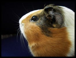 guinea pig 2 by bluEeye93