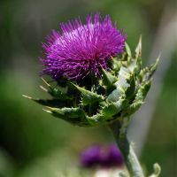 River's Thistle by GeraldWinslow