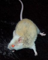 Female African Soft Furred Rat by Phoenix-Cry