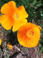 Orange Poppy by Aikoloid