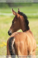 Bay Foal 2 by MistyHills-STOCK