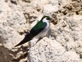 Violet Green Swallow by Geotripper