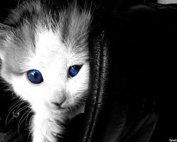Blue-eyed kitten by psychopathic-jad