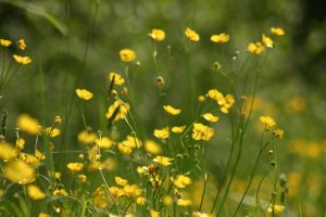 Buttercup field stock 1 by AngiWallace