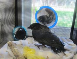 Injured Young Crow 2 by Windthin