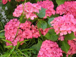 Stock pink flowers by Angiepureheart