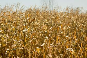 Fields of Gold :Stock: by PixlPhantasy