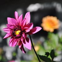 Dahlia en Echo d'Orange I by hyneige