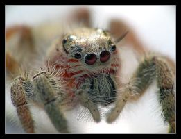 jumping spider by acklee