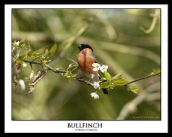 bullfinch by THEDOC4