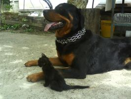 Rottweiler III and kitten by natiawarner