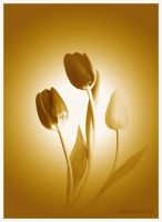 toned tulips by photonig