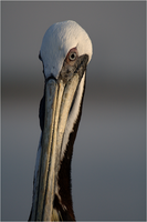 Pelican Portrait by Karl-B