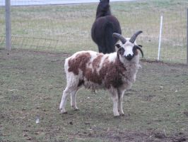 Jacob's sheep ram1: stock by Lythre-does-photos