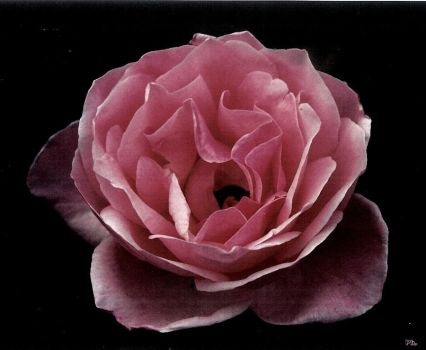 Argentic rose by Dermoo