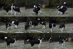 Collie Dogs 7 by Tasastock