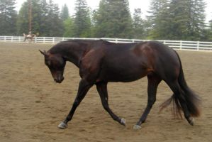 Dressage Horse --tackless-- by rachellafranchistock