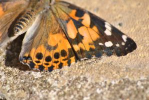 Painted Lady by PennineRosa