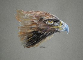 Golden Eagle by Eddyfying
