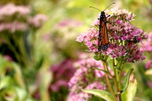 Monarch Butterfly by Aroha-Photography