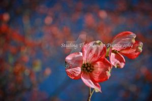 Pink Dogwood by stealingthemoment
