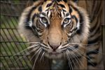 Sumatran Tiger 5 by Mkatpro11