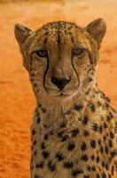 Cheetah Portrait by DanielleMiner