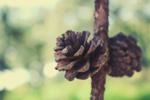 Pine cone by oDAISYo