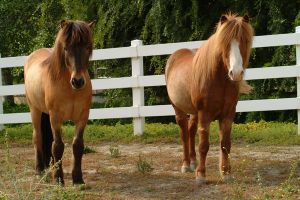 stock icelantic ponies by HollyChaotic-Stock